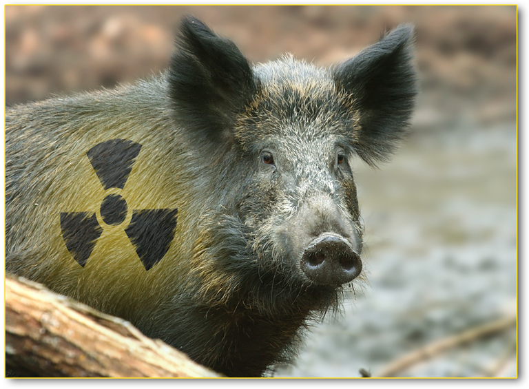 cinghiale-radioattivo