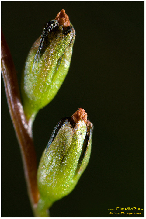 drosera_rotundifolia_rosolida_common_sundew_10