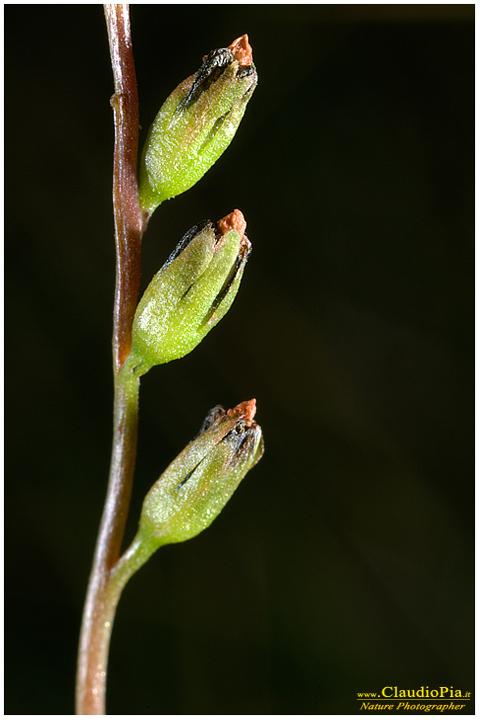 Drosera rotundifolia,, Rosolida, Common sundew, Rocío de sol común, Alta Val d'Aveto