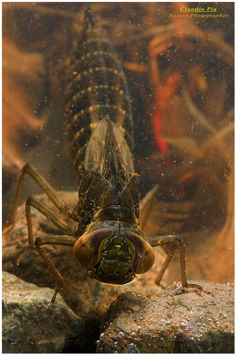 Larva di libellula, temibilissimo predatore subacqueo, in alta Val d'Aveto