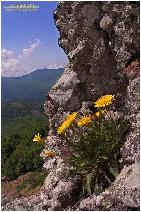 Leontodon anomalus, splendida pianta che cresce sulla roccia nuda
