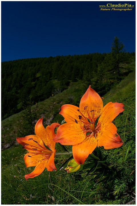 Lilium bulbiferum, Giglio rosso o di S Giovanni