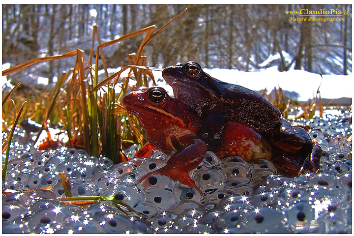 rana temporaria, common frog, mating, accoppiamento, uova, eggs val d'aveto
