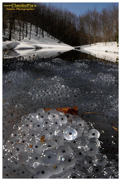 """Rana temporaria, accoppiamento e deposizione in un laghetto """"alpino"""" in Val d'Aveto"""
