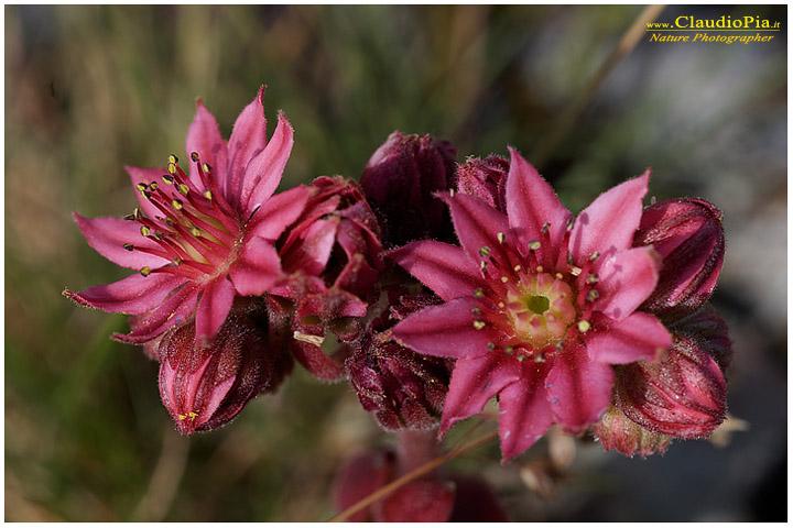 """Sempervivum arachnoideum, che è una """"pianta grassa"""""""