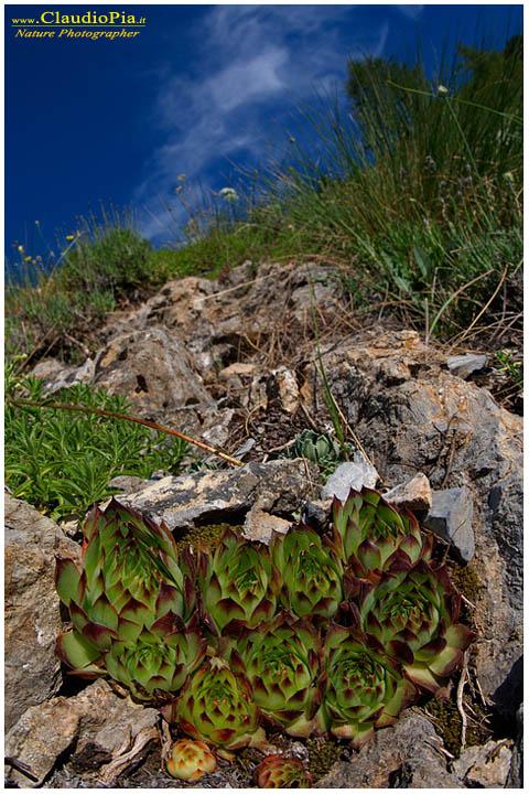 "Sempervivum tectorum, altra ""grassa"""