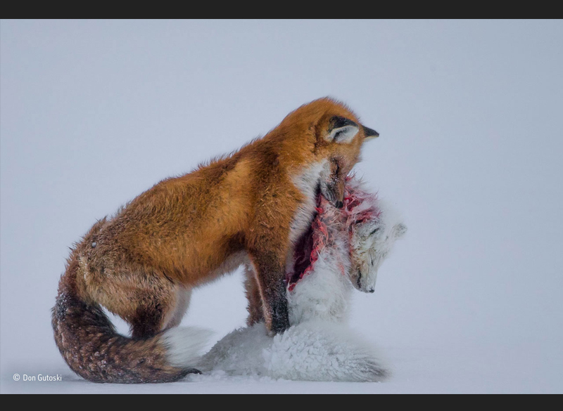 A tale of two foxes