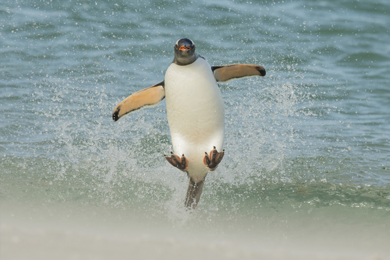 Perfect Moment - Jumping Gentoo (c)Tom Way