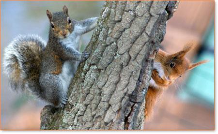 Lo scoiattolo grigio contro lo scoiattolo rosso imperial bulldog