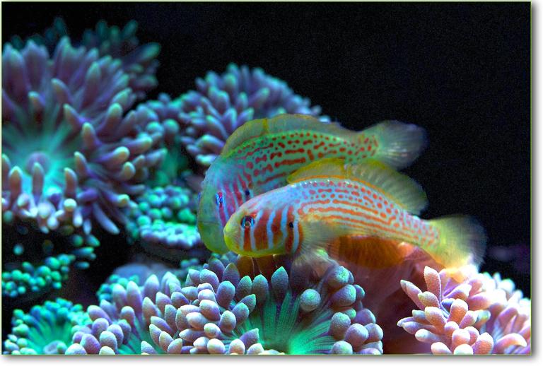 Pesci e coralli attrazione chimica imperial bulldog - Pesci e acquario a letto ...