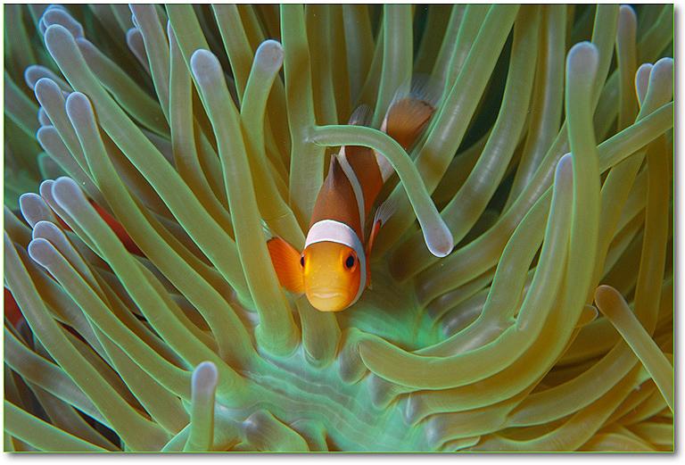 La societ rumorosa dei pesci pagliaccio imperial bulldog for Pesce pagliaccio foto