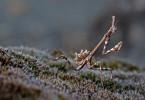 Empusa pennata, Conehead mantis, Mantis palo, Prov. di Piacenza