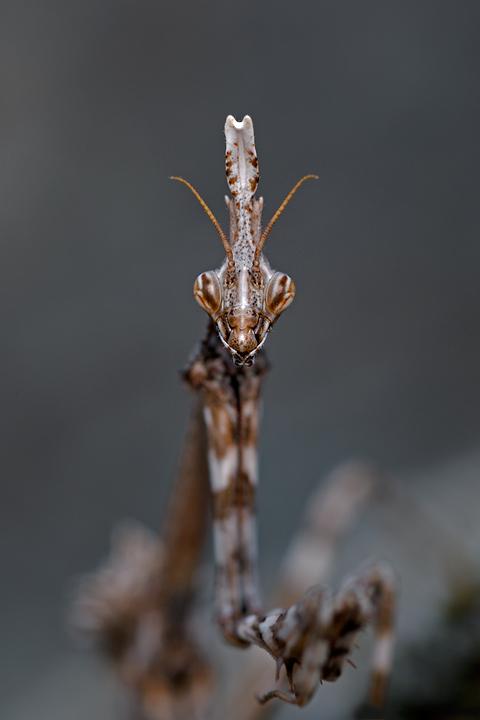 empusa_pennata_conehead_mantis_mantis_palo_6