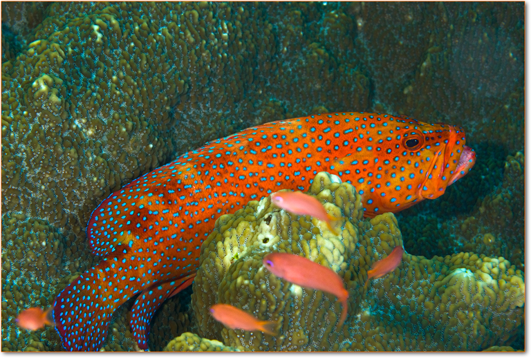 cernia-dei-coralli