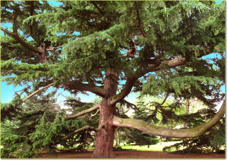 La forma degli alberi imperial bulldog for Chioma albero