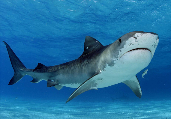 Tiger-Shark-small