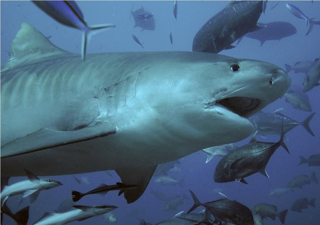 tider-shark10