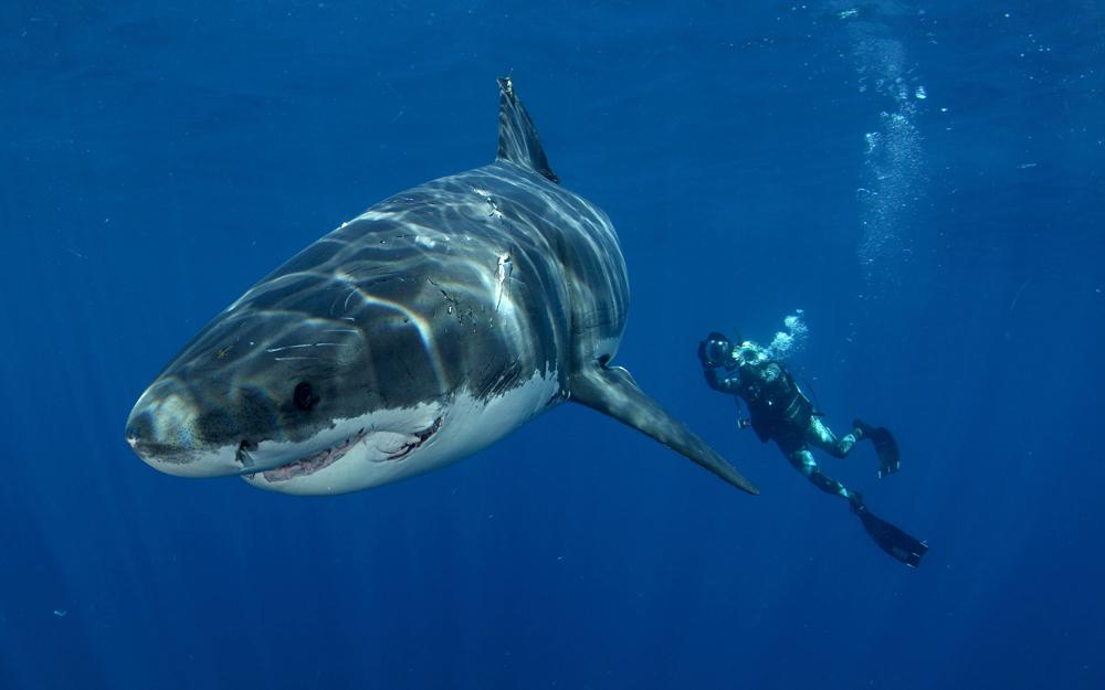 tiger-shark-underwater-ocean-life-1024x768-deluxe-ocean