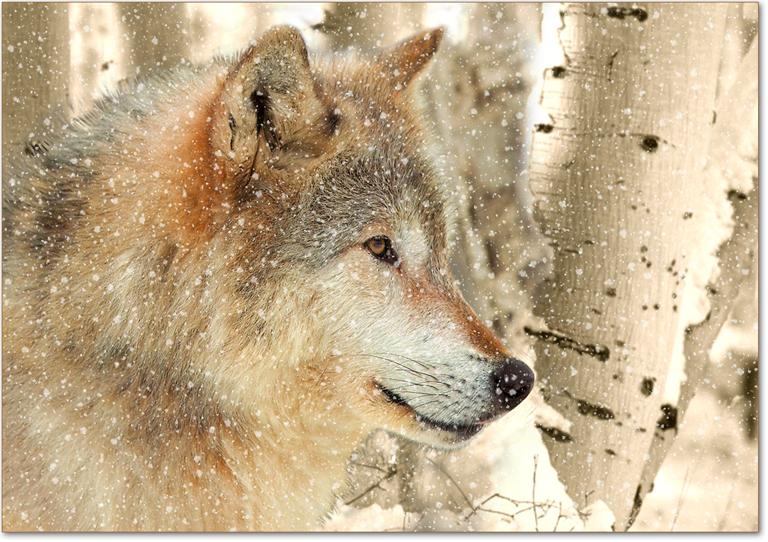 wolf-parco-di-Yellowstone-