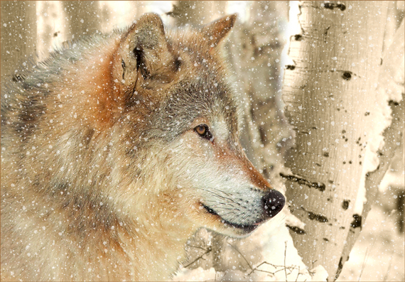 wolf-parco-di-Yellowstone-small-
