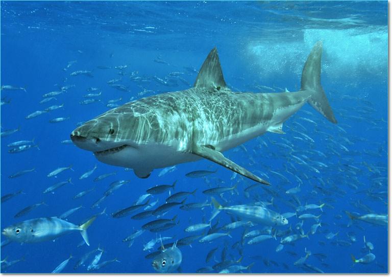 White_shark