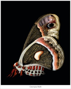 Cecropia-Moth