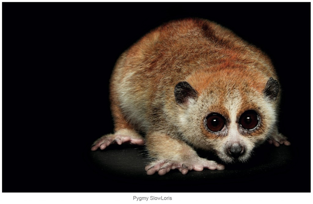 Pygmy-Slow-Loris