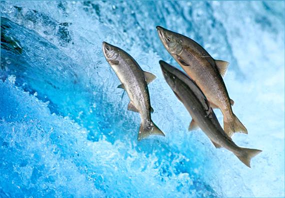 salmone-small2