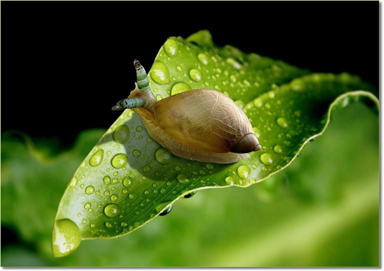 amber-snail