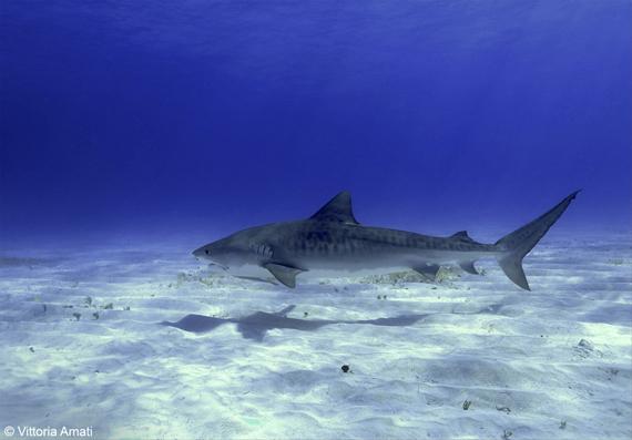 squalo-tigre-small