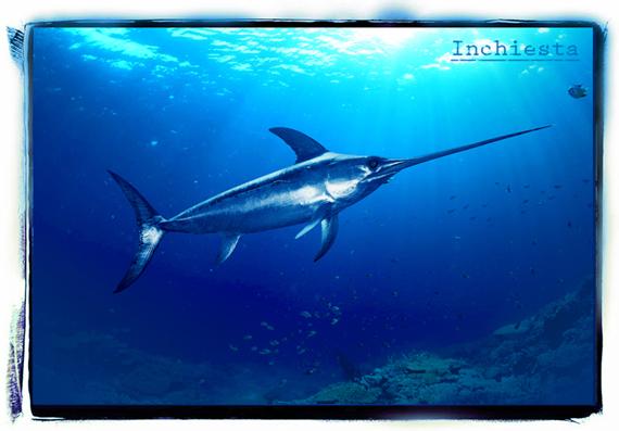 pesce-spada-small