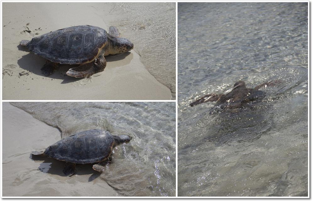 tartaruga-in-acqua