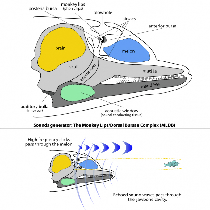 odontoceti-echolocation