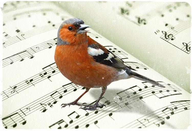 fringuello musica