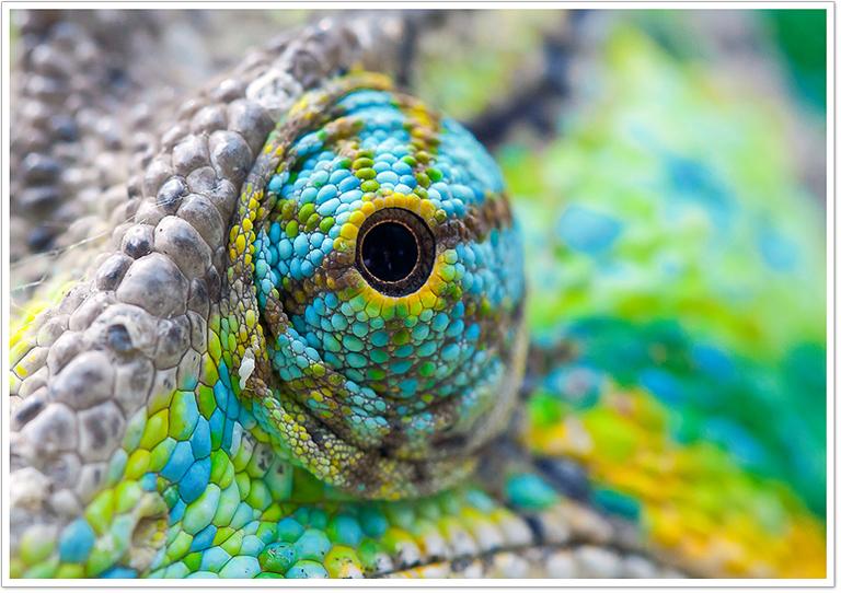 Chameleons-eye