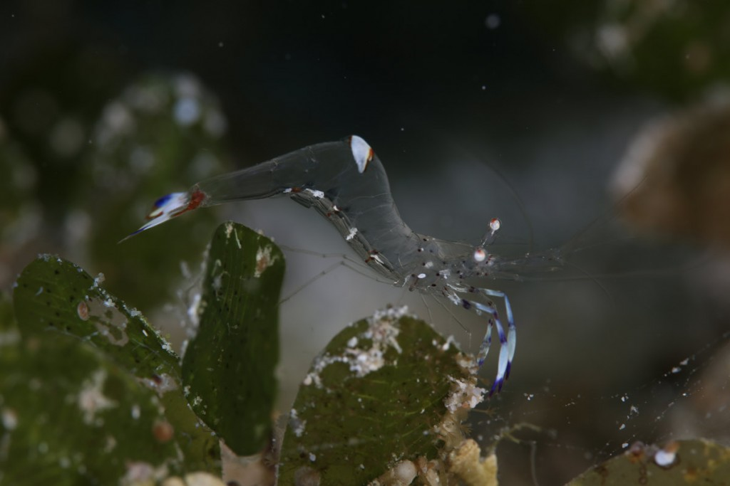 Ghost Shrimp, Evolution Reef