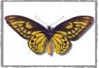 Wallaces-golden-birdwing-butterfly-specimen--small