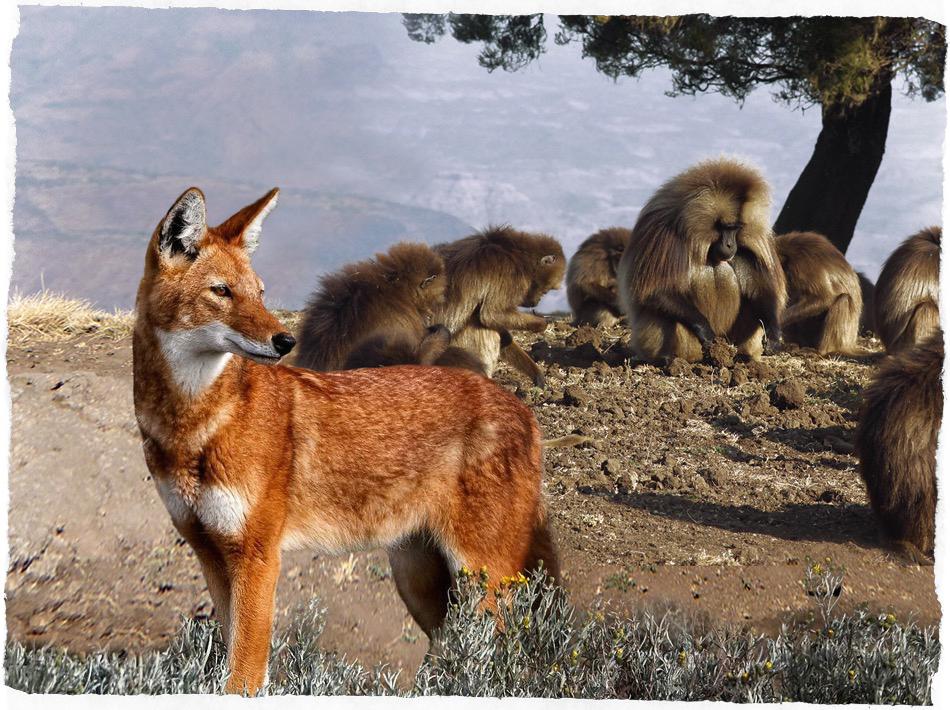 lupo & babuino