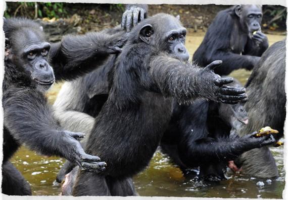 scimpanzè-liberia-small