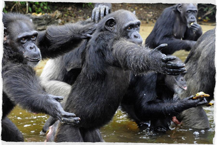 scimpanzè-liberia
