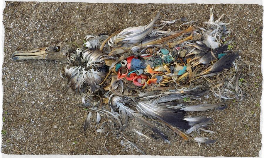 carcassa-albatros