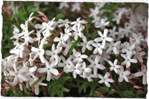 jasminum-polyanthum