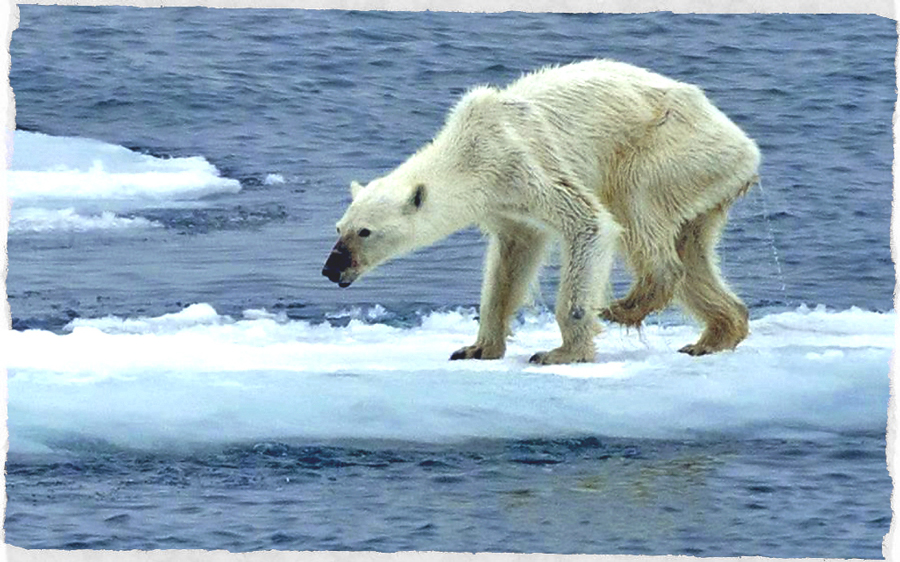 orso-polare-denutrito