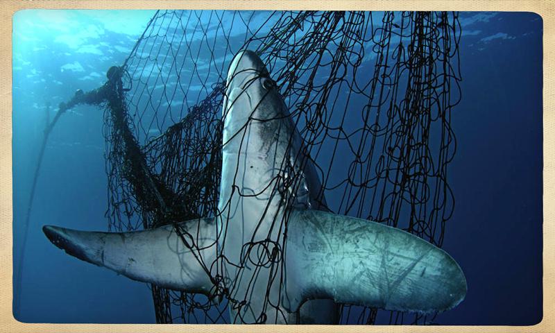 squali-catturati