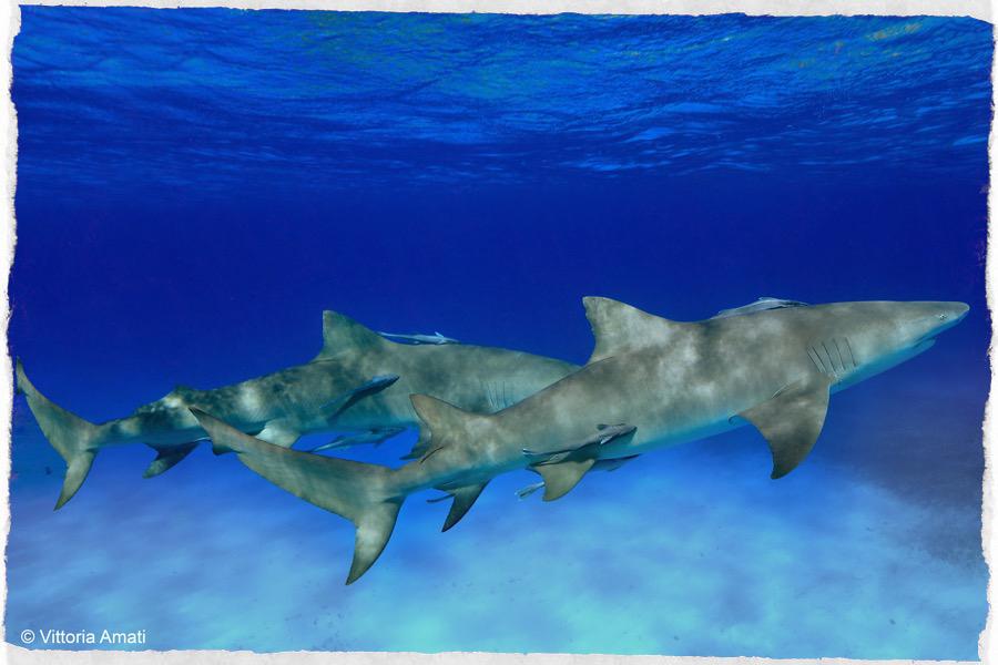 squali limone