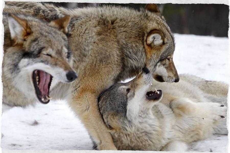 branco-di-lupi
