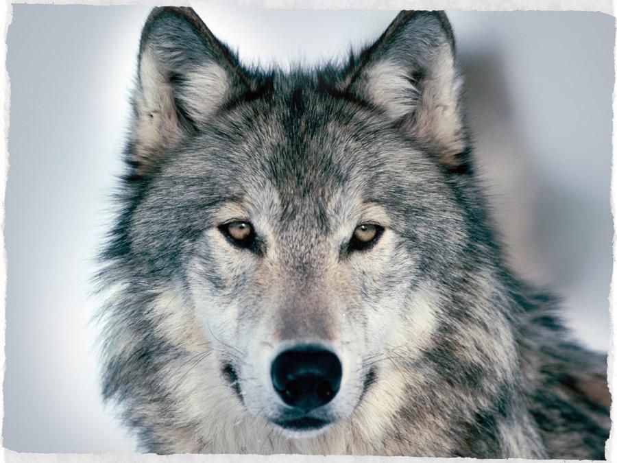 il lupo è un animale fedele