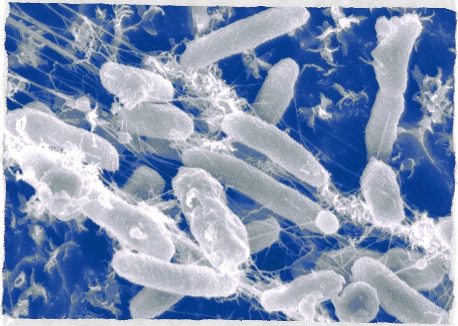batterio mangiaplastica