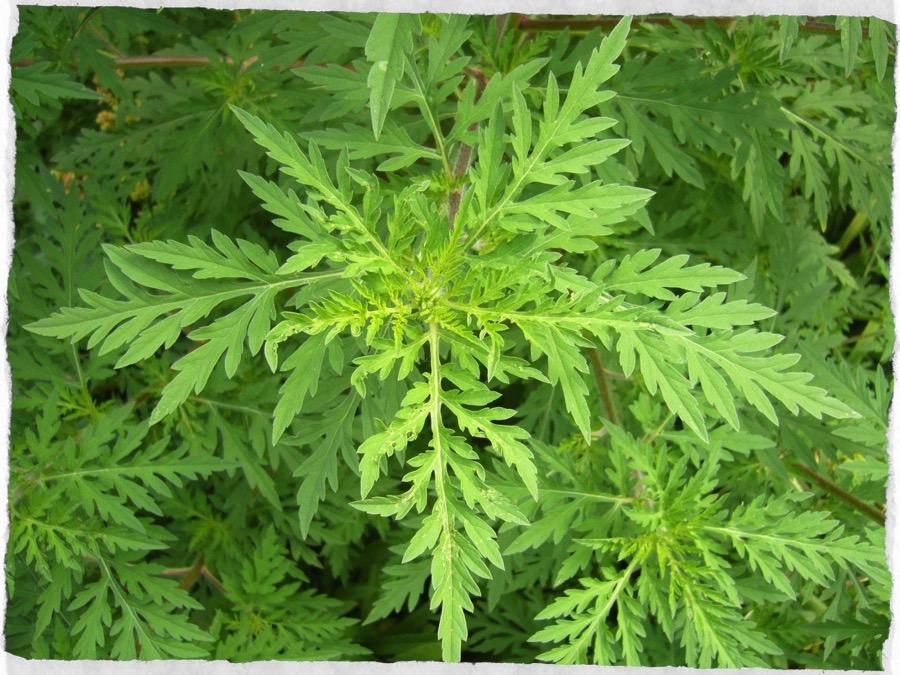 Ambrosia artemisiifolia