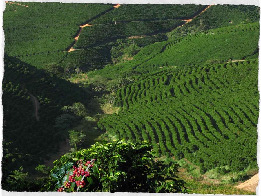 piantagione di caffe